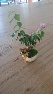 盆栽 睡蓮花